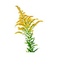 Травы золотарника