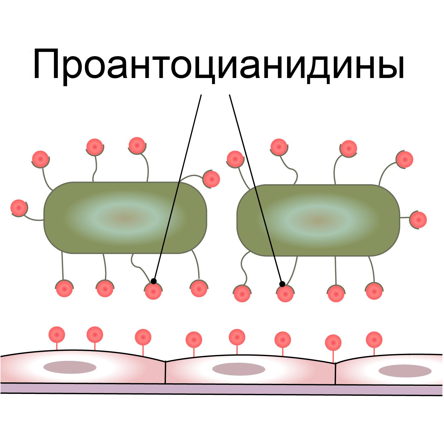 Проантоцианидины клюквы блокируют жгутики бактерии и предупреждают прикрепления к стенке мочевого пузыря